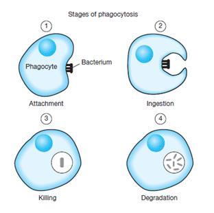 De fases van fagocytose, het proces waarbij het membraan van een cel vaste deeltjes, zoals andere cellen (b.v. bacteriën), omsluit en zo een holte (fagosoom) binnen de cel vormt waarin de omsloten deeltjes buiten het cytoplasma veilig opgeslagen worden.