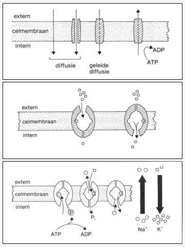 Het Celmembraan.