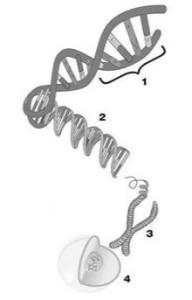 1. Gen - 2. DNA - 3. Chromosoom - 4. Cel met celkern
