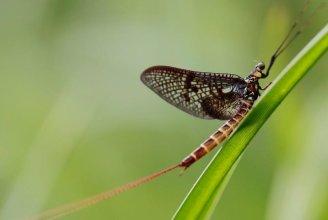 De eendagsvlieg heeft geen monddelen. Het vrouwtje legt eitjes in het water terwijl ze verdrinkt.