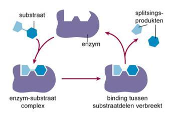 Schematische weergave van de werking van een enzym.