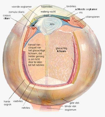Onderdelen van het oog.