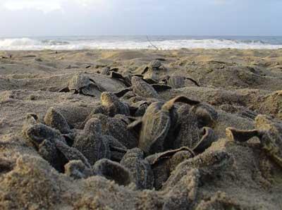 Pas geboren babyschildpadden banen zich een weg naar het water.