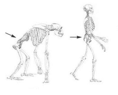 Recent onderzoek onthulde dat het onmogelijk is voor een gebogen aapskelet, geschikt voor de beweging van een viervoeter, om te ontwikkelen in een menselijk rechtop staand skelet, dat geschikt is voor de beweging van een tweebenige.