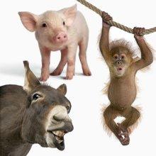 Varkens apen en ezels