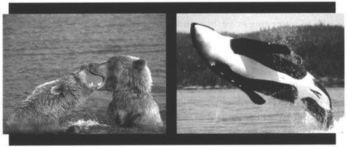 """Evolueerden walvissen uit beren? In """"The origin of Species"""" beweerde Darwin dat walvissen ontstaan zijn uit beren die probeerde te zwemmen! Darwin nam per vergissing aan dat de mogelijkheden van variatie binnen dezelfde diergroep onbeperkt was. De wetenschap van de 20ste eeuw heeft echter aangetoond dat dit evolutionistische scenario denkbeeldig is."""